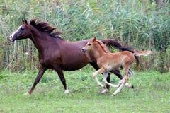 Αραβική φοράδα και foal της που καλπάζουν στο λιβάδι Στοκ Εικόνα