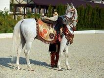 αραβικό άλογο Γκρίζος επιβήτορας σε μια μάντρα Στοκ Εικόνες