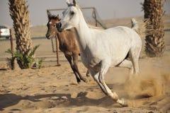 αραβικό άλογο Στοκ Εικόνες