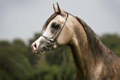 αραβικό άλογο Στοκ εικόνες με δικαίωμα ελεύθερης χρήσης