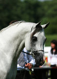 αραβικό άλογο Στοκ εικόνα με δικαίωμα ελεύθερης χρήσης