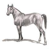 Αραβικό άλογο, επιβήτορας Ρεαλιστικός αριθμός Στοκ φωτογραφία με δικαίωμα ελεύθερης χρήσης