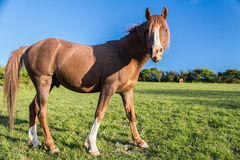 Αραβικό άλογο κάστανων Στοκ Εικόνες