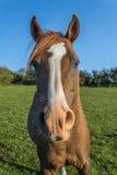 Αραβικό άλογο κάστανων Στοκ φωτογραφία με δικαίωμα ελεύθερης χρήσης
