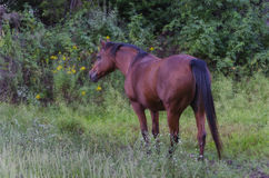 αραβικό άλογο πεδίων Στοκ Εικόνα