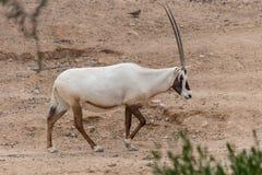 Αραβικό ή άσπρο Oryx Oryx leucoryx περπατά κατά μήκος της ερήμου στα Ηνωμένα Αραβικά Εμιράτα στοκ φωτογραφία με δικαίωμα ελεύθερης χρήσης