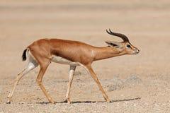 Αραβικό βουνό gazelle - αραβική χερσόνησος Στοκ εικόνα με δικαίωμα ελεύθερης χρήσης