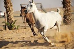 αραβικό λευκό αλόγων Στοκ Εικόνες