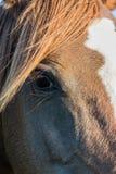 Αραβικό μάτι αλόγων κάστανων Στοκ εικόνα με δικαίωμα ελεύθερης χρήσης
