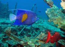 Αραβικό angelfish Στοκ Φωτογραφίες