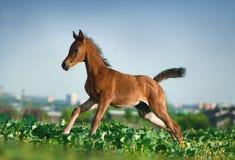 Αραβικό foal που τρέχει στον τομέα Στοκ εικόνες με δικαίωμα ελεύθερης χρήσης