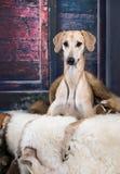 Αραβικό Greyhound Sloughi σκυλιών Στοκ φωτογραφία με δικαίωμα ελεύθερης χρήσης