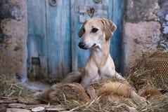 Αραβικό Greyhound Sloughi σκυλιών Στοκ Εικόνες
