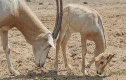 Αραβικό oryx Στοκ Εικόνες