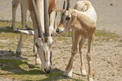 Αραβικό oryx Στοκ Φωτογραφία