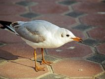 αραβικό seagull στοκ εικόνα με δικαίωμα ελεύθερης χρήσης