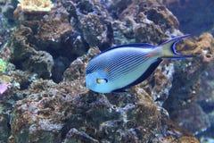 Αραβικό surgeonfish Στοκ φωτογραφία με δικαίωμα ελεύθερης χρήσης