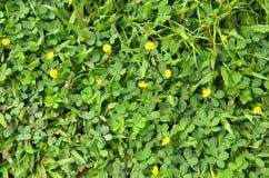 Αραχίδα (Arachis hypogaea) Στοκ Εικόνα