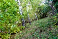Αργά το φθινόπωρο το πράσινο άλσος φυλλώματος σημύδων μπορεί στοκ εικόνες με δικαίωμα ελεύθερης χρήσης