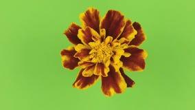 Αργή αμειψισπορά ενός κίτρινου λουλουδιού σε ένα πράσινο υπόβαθρο, κλείδωμα απόθεμα βίντεο