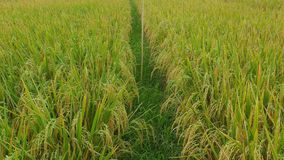 Αργή βράση που βλασταίνεται της όμορφης άποψης του αγροκτήματος δημητριακών τομέων ρυζιού στην Ασία με τον αέρα που φυσά το σιτάρ απόθεμα βίντεο