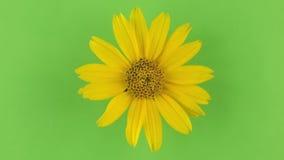 Αργή περιστροφή κίτρινο camomile σε ένα πράσινο υπόβαθρο, κλείδωμα απόθεμα βίντεο