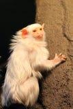 Αργυροειδές marmoset στοκ φωτογραφίες με δικαίωμα ελεύθερης χρήσης