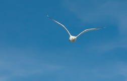 Αργυροειδές seagull Στοκ εικόνες με δικαίωμα ελεύθερης χρήσης