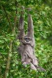 Αργυροειδές gibbon Hylobates moloch με έναν νεογέννητο Στοκ Εικόνα
