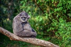 Αργυροειδές gibbon Hylobates moloch Στοκ εικόνα με δικαίωμα ελεύθερης χρήσης