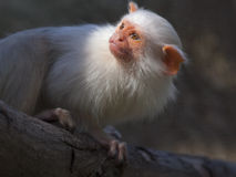 Αργυροειδές marmoset Στοκ Εικόνα
