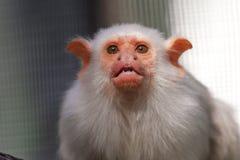 Αργυροειδές marmoset Στοκ Εικόνες