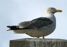Αργυροειδές seagull - argentatus Larus Στοκ φωτογραφία με δικαίωμα ελεύθερης χρήσης