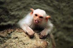 Αργυροειδή marmoset & x28 Mico argentatus& x29  στοκ φωτογραφίες με δικαίωμα ελεύθερης χρήσης