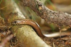 Αργός-σκουλήκι στοκ εικόνες