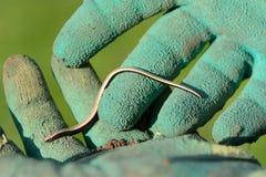 Αργό σκουλήκι, Anguis fragilis, νέο Στοκ Εικόνες