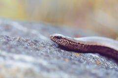Αργό σκουλήκι ή τυφλό σκουλήκι, Anguis fragilis Στοκ Φωτογραφίες