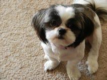 Αριθμός ένα σκυλί Στοκ φωτογραφίες με δικαίωμα ελεύθερης χρήσης