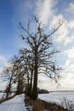 Αριθμός γυμνών δέντρων, τα οποία αυξάνονται το γκι Στοκ Φωτογραφία