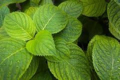 Αριστερή πλευρά ταπετσαριών Hydrangea στοκ εικόνα με δικαίωμα ελεύθερης χρήσης