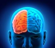 Αριστερός και δεξιός ανθρώπινος εγκέφαλος ελεύθερη απεικόνιση δικαιώματος