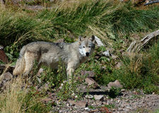 αριστερός λύκος στάσης Στοκ Φωτογραφίες