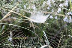 Αριστούργημα μιας αράχνης, lat Argiope Bruennichi Στοκ εικόνες με δικαίωμα ελεύθερης χρήσης