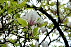 Αρκετά άσπρα άνθη Magnolia Στοκ Φωτογραφία