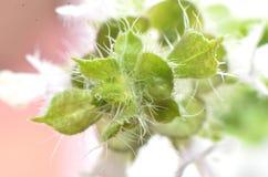Αρκετά άσπρα λουλούδια, που διαμορφώνονται επιμηκυμένος μεταξύ 2 ομαλών άσπρων χνουδωτών πράσινων φύλλων στοκ εικόνες με δικαίωμα ελεύθερης χρήσης