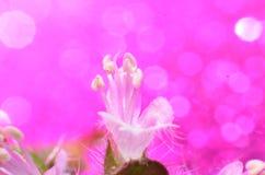 Αρκετά άσπρα λουλούδια, που διαμορφώνονται επιμηκυμένος μεταξύ 2 ομαλών άσπρων χνουδωτών πράσινων φύλλων στοκ φωτογραφίες