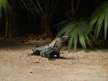 Αρκετά ενήλικο iguana στοκ εικόνα