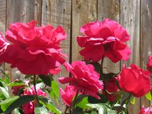 Αρκετά κόκκινα λουλούδια Στοκ φωτογραφίες με δικαίωμα ελεύθερης χρήσης
