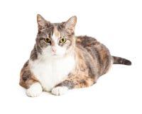 Αρκετά μεγάλη γάτα βαμβακερού υφάσματος που βάζει πέρα από το λευκό Στοκ φωτογραφία με δικαίωμα ελεύθερης χρήσης