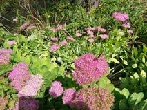 Αρκετά πορφυρά λουλούδια Στοκ φωτογραφία με δικαίωμα ελεύθερης χρήσης